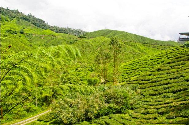 DSC 0600 Джунгли, горы и чайные плантации на Камерон Хайлендс
