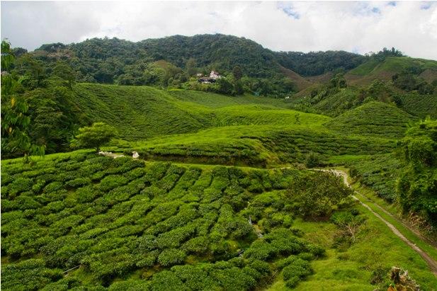 DSC 0629 Джунгли, горы и чайные плантации на Камерон Хайлендс