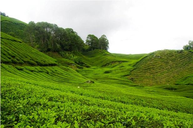 DSC 0638 Джунгли, горы и чайные плантации на Камерон Хайлендс
