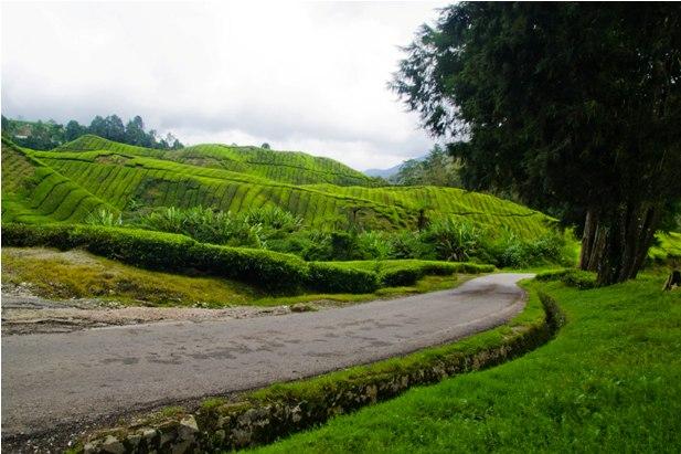 DSC 0642 Джунгли, горы и чайные плантации на Камерон Хайлендс