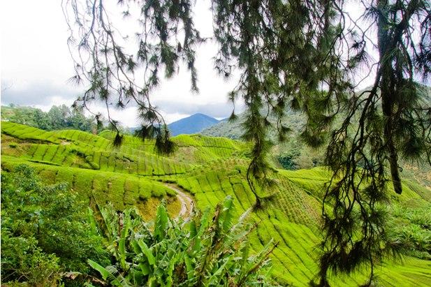 DSC 0651 Джунгли, горы и чайные плантации на Камерон Хайлендс