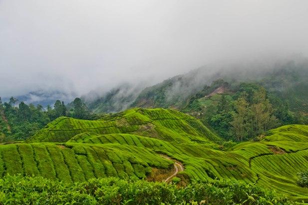 DSC 0785 Джунгли, горы и чайные плантации на Камерон Хайлендс