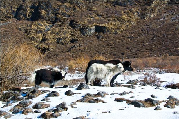 12 32 Трек в Лангтанг (часть 5): Kyangien Gompa – Lama Hotel   Shyaphrupesi   Kathmandu