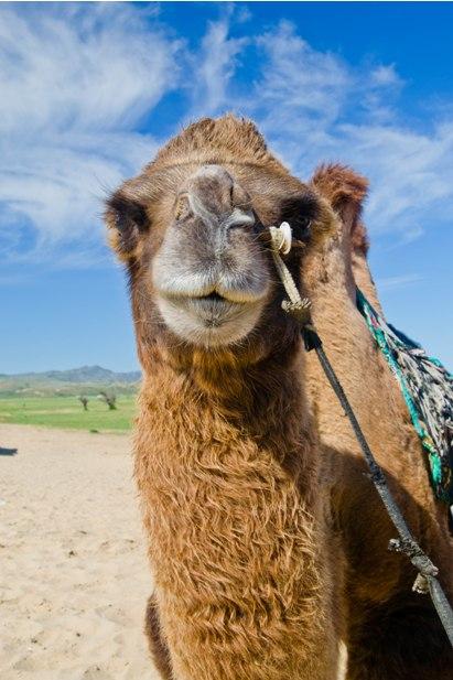 DSC 0913 Монгол Элс: пески и верблюды