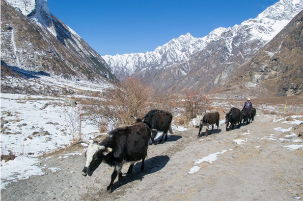 Lang 453 Трек в Лангтанг (часть 5): Kyangien Gompa – Lama Hotel   Shyaphrupesi   Kathmandu
