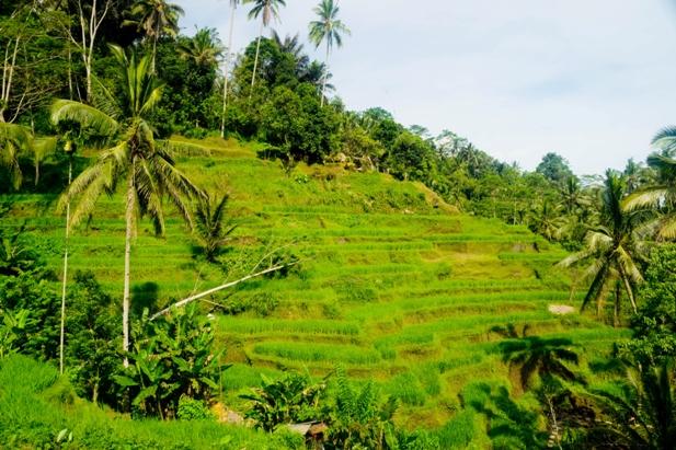 DSC00599 Рисовые террасы Тегаллаланг