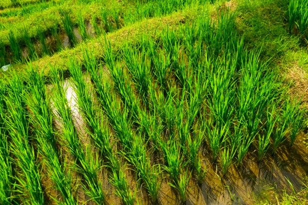 DSC00601 Рисовые террасы Тегаллаланг